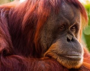 красные обезьяны