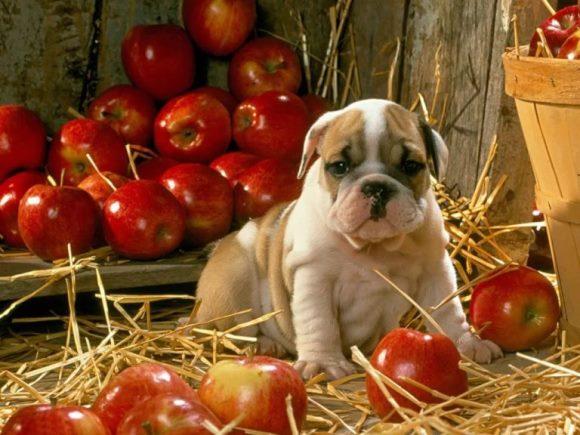 собака и яблоки