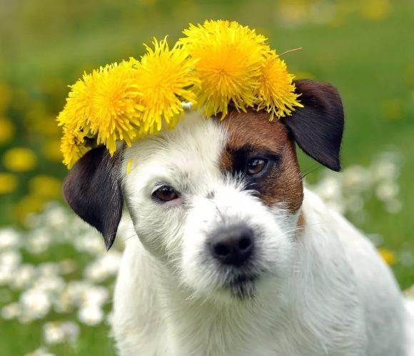 собака с одуванчиками