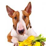 собака с тюльпанами 8 марта
