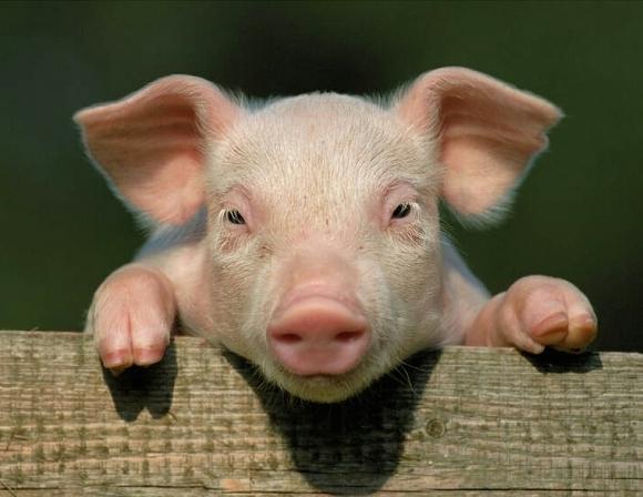 викторина с вопросами и ответами да или нет на свиную тематику