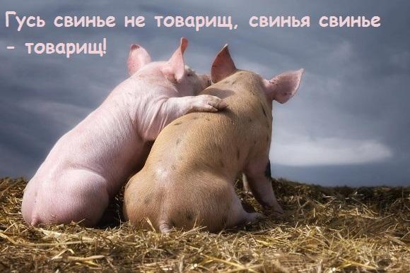 свинья свинье товарищ