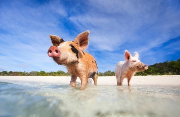 вопросы о свиньях для викторины