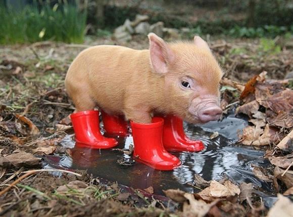 вопросы и ответы про свинью