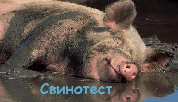 свинотест