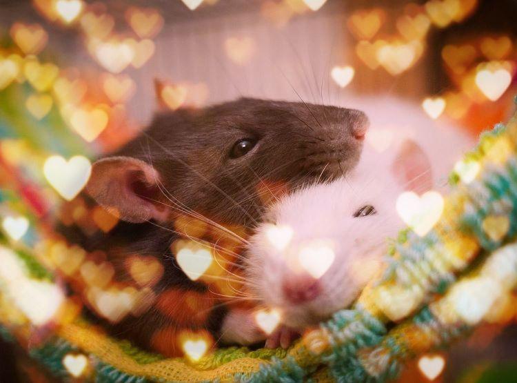 карен любимая крыса картинки простых советов